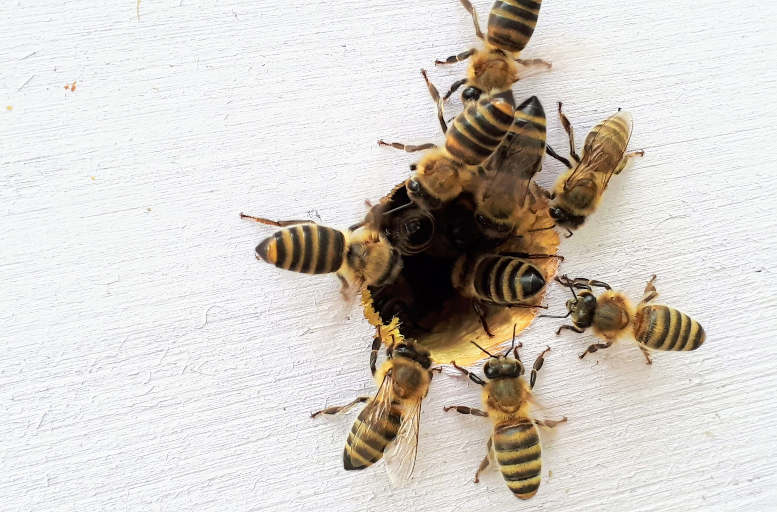 Bees crawling into a hole