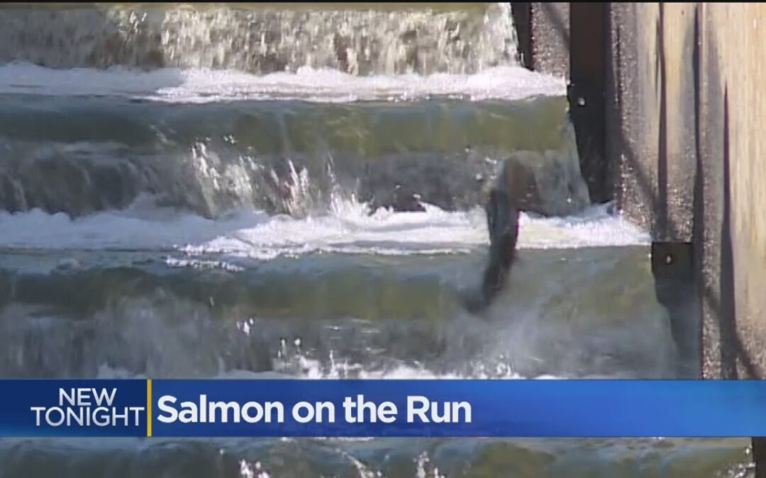 Photo of salmon swimming up a salmon ladder