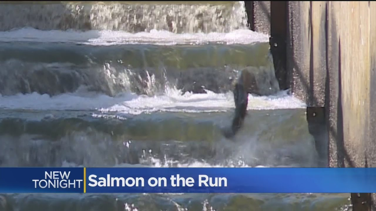 Photo of salmon swimming up a salmon ladder